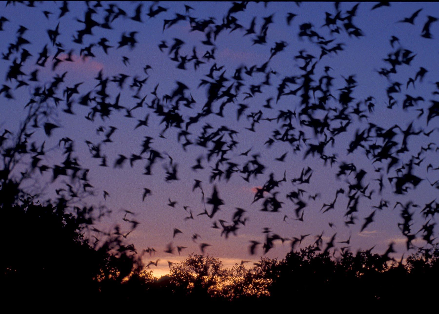 History Of Bats