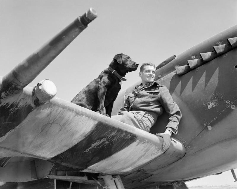 Wing Commander J E Johnson, leader of No. 144 (Canadian) Wing RAF, rests on the the wing of his Supermarine Spitfire Mark IX with his Labrador retriever Sally