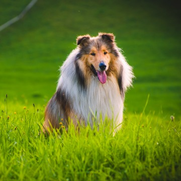07New_Collie