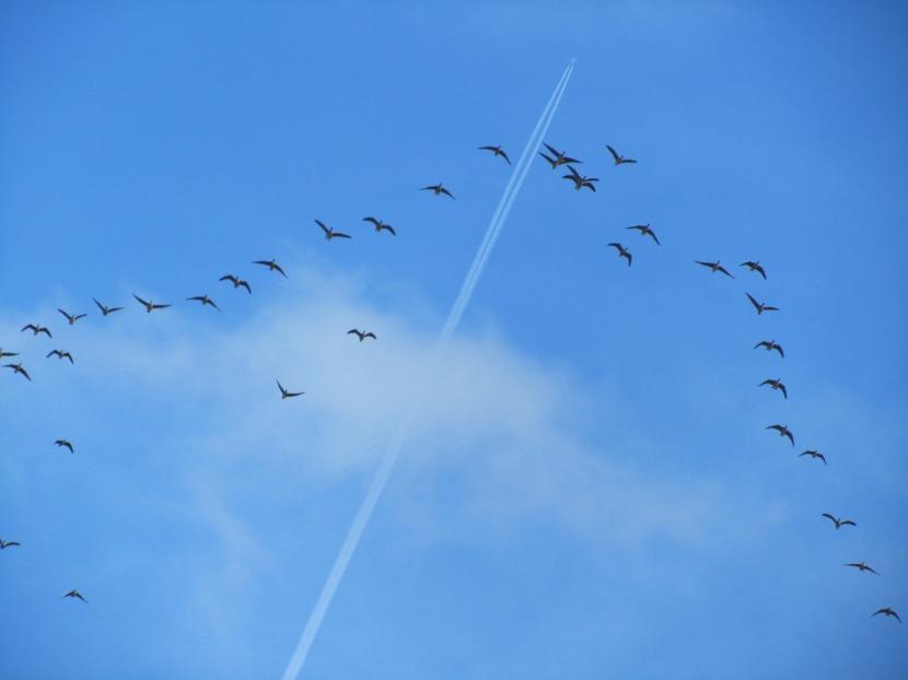 pink-footed-geese.jpg
